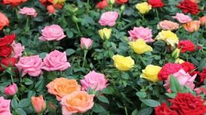 acheter un rosier