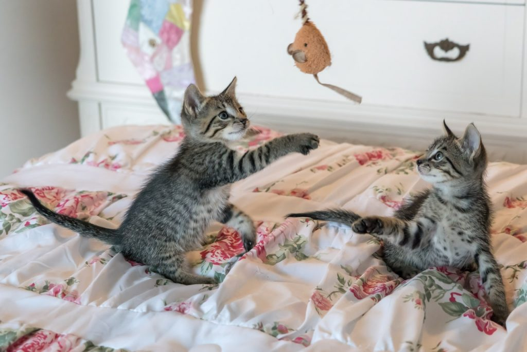 deux chats qui jouent